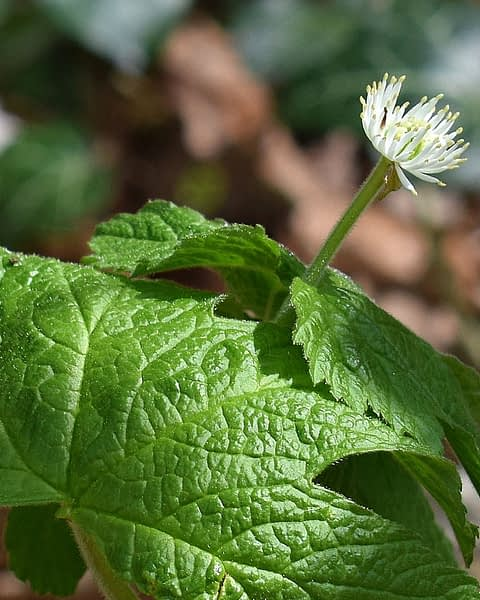 Healing a UTI with Goldenseal
